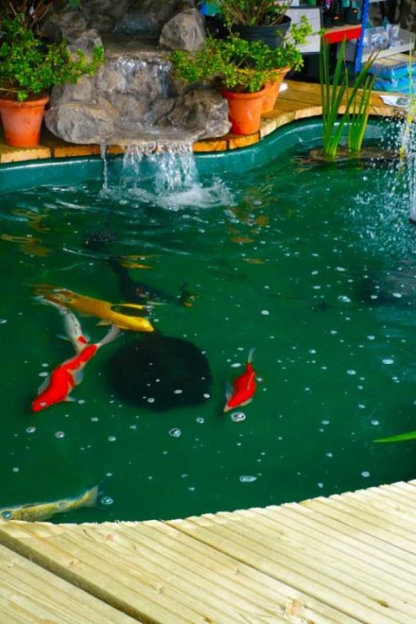 Mini Koi Pond